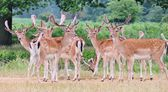 Group of fallow stag deer alert and looking to camera — Stok fotoğraf