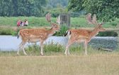 Pair of fallow stag deer with family watching from other bank — Stok fotoğraf