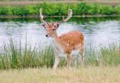 Handsome young fallow deer buck — Stock Photo