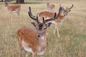 Group of young fallow stags looking to camera — Stock Photo