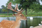 Handsome fallow stag buck by river — Stock Photo