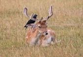 Fallow stag buck deer with black bird on its back — Stock Photo