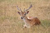 Fallow stag buck deer lying down in clearing — Stock Photo