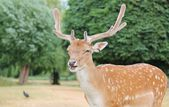 Young handsome fallow deer stag — Stock Photo
