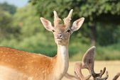 Young fallow deer looking to camera — Stock Photo