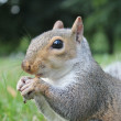 Постер, плакат: Friendly Grey bushy tail squirrel coming to be fed