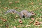 Close up of cute Grey squirrel with bushy tail on grass — Stock Photo