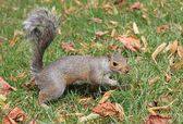 Friendly Grey bushy tail squirrel coming to be fed — Stock Photo