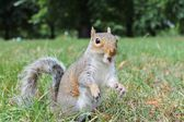 Comedy Grey squirrel calling, screech — Stok fotoğraf