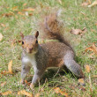 Close up grey squirrel — Stockfoto