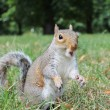 Close up grey squirrel — Stock Photo