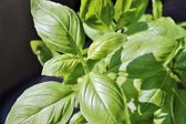 Fresh basil herb plant — Stock Photo