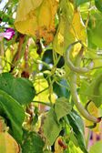 Runner beans in vegetable — Stock Photo