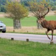 Wild Red deer stag in Bushy Park  — Stock Photo