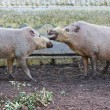 Bearded pigs at zoo farm — Stock Photo