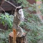 ������, ������: Rare Emperor Tamarin monkey from the Amazon