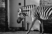 Black and white zebra at zoo — Stock Photo