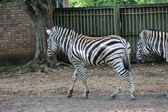 Bianco e nero zebra allo zoo — Foto Stock