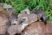 Wet Asian small-clawed otters — Stockfoto