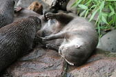 Asian small claw otter — Stock Photo
