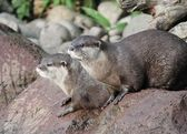 Wet Asian small-clawed otters — Foto Stock