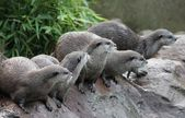 Wet Asian small-clawed otters — Stock Photo