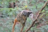Emperor Tamarin — Stock Photo