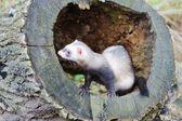 Ferret on tree stump — Stock Photo