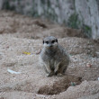meerkat close up — Stock Photo