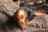 Golden Tamarin — Stock Photo
