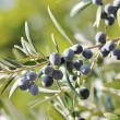 Black olives on branch of olive tree — Stock Photo #36139423