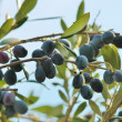 Black olives on branch of olive tree — Stock Photo #36139615
