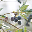 Black olives on branch of olive tree — Stock Photo #36139647