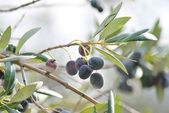 Black olives on branch of olive tree — Stock Photo