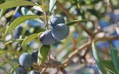Black olives growing on olive tree — Stock Photo