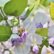 Germwasp on Wisteria — Stock Photo #37466625
