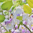 Germwasp on Wisteria — Stock Photo #37466689