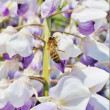 Germwasp on Wisteria — Stock Photo #37466973