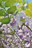 Deutsche wespe auf wisteria — Stockfoto