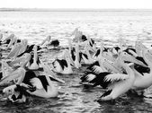 Stock Photo - Great White Pelican flock resting at water edge — Stock Photo