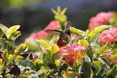 Hummingbird — Stockfoto