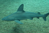 Sand tiger shark  — Stock Photo
