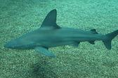 Sand tiger shark — Stock Photo