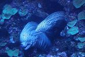 Müren balığı — Stok fotoğraf