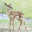 Fawn at the river — Stock Photo