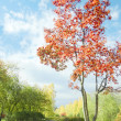 Stock Photo: Red tree, mountain ash grows in alley