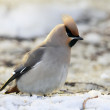 Waxwing — Stock Photo