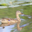 Female wild duck Mallard feeds on the overgrown river — Stock Photo
