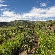 Stock Photo: Tamarillo growing in Andean