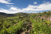 Tamarillo growing in the Andean — Stock Photo
